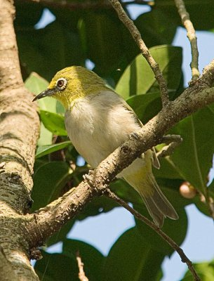 Japanese White-eye (Zosterops japonicus) by W Kwong