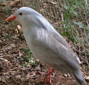 Kagu (Rhynochetos jubatus) Wikipedia