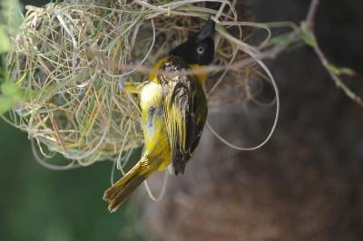 Lesser Masked Weaver (Ploceus intermedius) by Bob-Nan