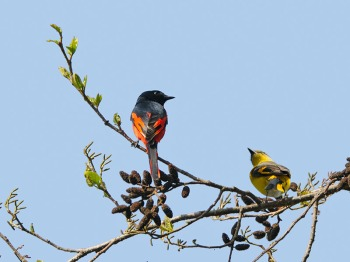 Long-tailed Minivet (Pericrocotus ethologus) by W Kwong M-F