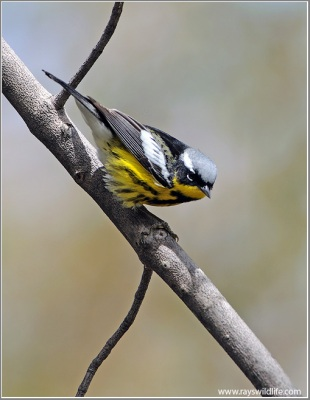 Magnolia Warbler by Ray
