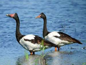 Magpie Goose - Anseranatidae Family by Ian