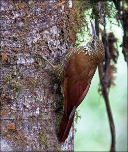 Montane Woodcreeper (Lepidocolaptes lacrymiger) by Ian