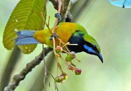 Avian And Attributes –Omnipresence