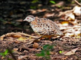 Painted Buttonquail (Turnix varius) by Ian