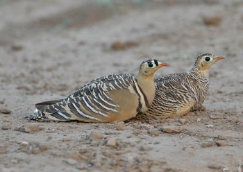 Painted Sandgrouse (Pterocles indicus) by Nikhil
