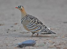 Painted Sandgrouse (Pterocles indicus) by Nikhil Devasar