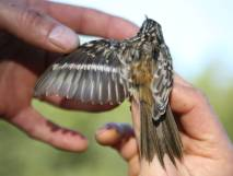 Brown Creeper (Certhia americana) ©USFWS