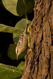 Spotted Creeper (Salpornis) by ©WikiC