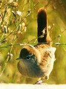 Cetti's Warbler (Cettia cetti) ©WikiC