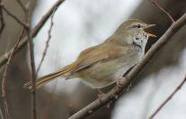 Japanese Bush Warbler (Horornis diphone) ©WikiC