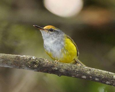 Mountain Tailorbird (Phyllergates cucullatus) by© Wiki