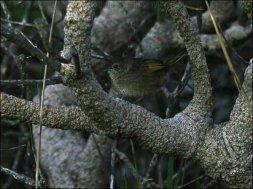 Western Bristlebird (Dasyornis longirostris) by Ian