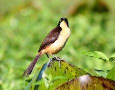 Black-capped Donacobius (Donacobius atricapilla) ©©Flickr