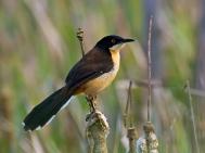 Black-capped Donacobius (Donacobius atricapilla) ©WikiC
