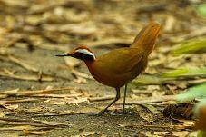 Rail-babbler (Eupetes macrocerus) ©WikiC