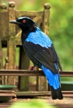 Asian Fairy-bluebird (Irena puella)-Disneys_Animal_Kingdom,_Florida,_USA