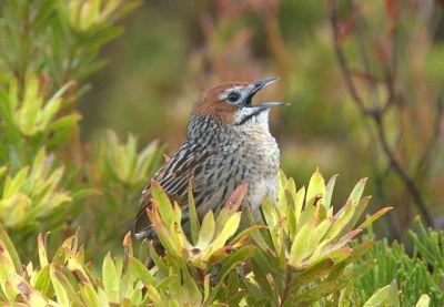 Cape Grassbird (Sphenoeacus afer) ©WikiC
