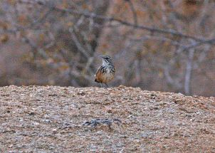 Rockrunner (Achaetops pycnopygius) ©WikiC