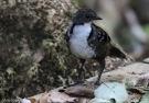 Australian Logrunner (Orthonyx temminckii) by Tom Tarrant