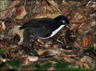 Chowchilla (Orthonyx spaldingii) by Ian