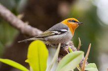 Olive Warbler (Peucedramus taeniatus) ©WikiC