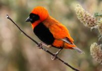 Southern Red Bishop (Euplectes orix) ©WikiC