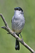 California Gnatcatcher (Polioptila californica) ©Flickr Tony Morris