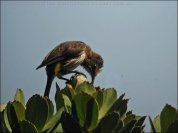 Cape Sugarbird (Promerops cafer) by Ian