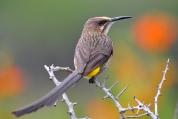 Cape Sugarbird (Promerops cafer) ©Flickr Ian White