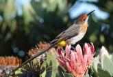 Gurney's Sugarbird (Promerops gurneyi) ©Flickr Derek Keats