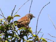 Dunnock (Prunella modularis) by Ian