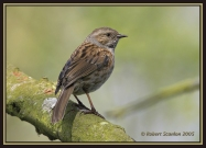 Dunnock (Prunella modularis) by Robert Scanlon