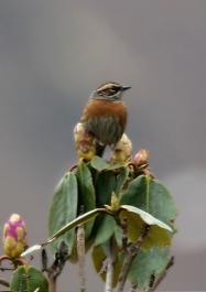 Rufous-breasted Accentor (Prunella strophiata) ©WikiC