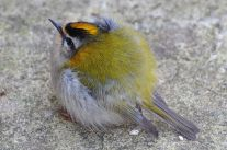 Common Firecrest (Regulus ignicapilla) ©WikiC