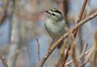 Golden-crowned Kinglet (Regulus satrapa) (1) by Raymond Barlow