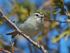 Golden-crowned Kinglet (Regulus satrapa) (2) by Raymond Barlow