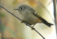 Ruby-crowned Kinglet (Regulus calendula) by Michael Woodruff