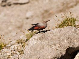 Wallcreeper (Tichodroma muraria) ©WikiC