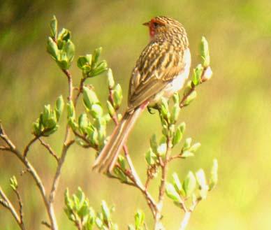 Przevalski's Finch (Urocynchramus pylzowi) ©Montereybay