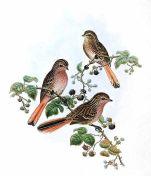 Przevalski's Finch (Urocynchramus pylzowi) ©WikiC Drawing