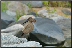 Hamerkop (Scopus umbretta) by Daves BirdingPix