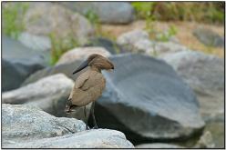 Hamerkop (Scopus umbretta) by Daves BirdingPix