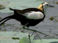 Pheasant-tailed Jacana (Hydrophasianus chirurgus) from Wikipedia