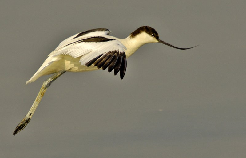 Pied Avocet (Recurvirostra avosetta) by Phil Kwong Galleries