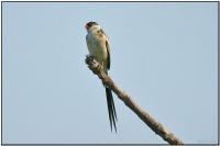Pin-tailed Whydah (Vidua macroura) by Dave's BirdingPix