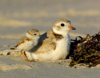 Piping Plover (Charadrius melodus) by J Fenton