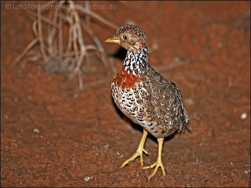 Plains-wanderer (Pedionomus torquatus) by Ian