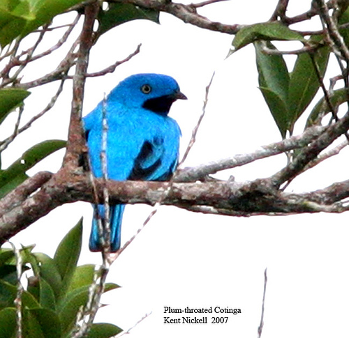 Plum-throated Cotinga (Cotinga maynana) by Kent Nickell