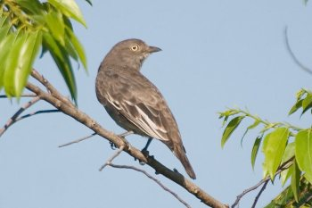 Pompadour Cotinga (Xipholena punicea) female by AGrosset